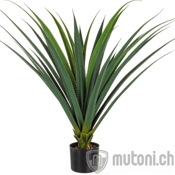 Pflanze Ruscaceae 28x90